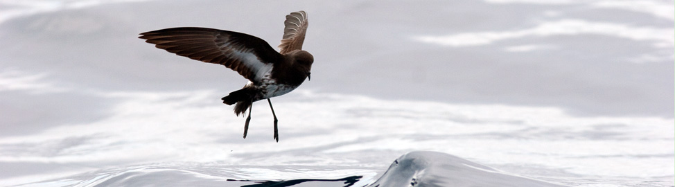The recently rediscovered New Zealand storm-petrel, refound for the first time in 150+ years by Brent Stephenson and Sav Saville from Wrybill Birding Tours, NZ is a key target species.  Our Hauraki Gulf pelagic not only finds several other endemic breeding seabirds, but specifically targets this species.
