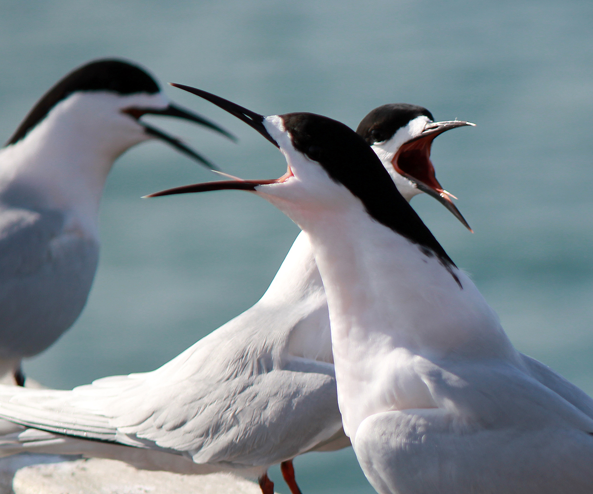 White-fronted Tern : Birding NZ
