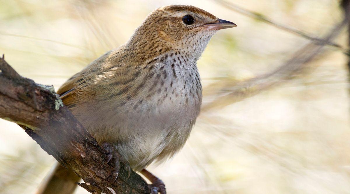 Image result for fernbird