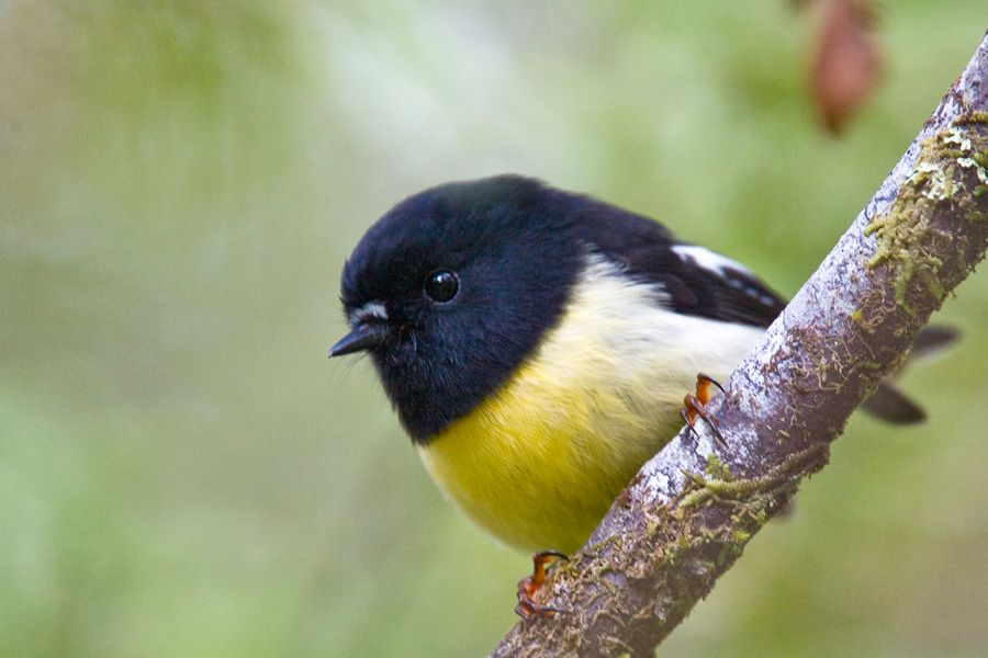 South island tomtit birding nz for Oiseau jaune et noir