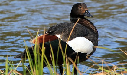 NZ Paradise Shelduck