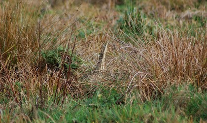 Find the Bittern.