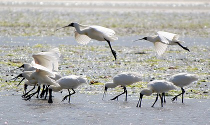 Royal Spoonbills
