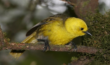 yellowhead birding nz